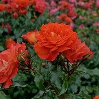 По - моему,розы... :: Михаил Рогожин