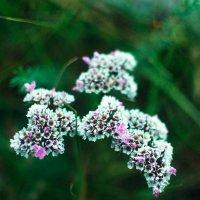 цветущее лето :: Юлия Маркелова