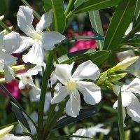 Нежные цветы белого олеандра :: Татьяна Смоляниченко