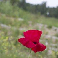 Маковый цветок :: Вера Аксёнова