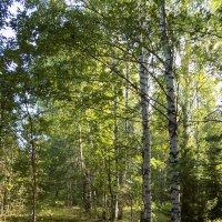 утро в лесу... :: Алена