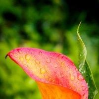 Цветы после дождя :: Василий Игумнов