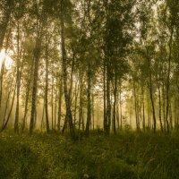 июльское утро в лесу :: cfysx