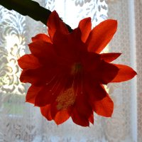 Красный эпифиллюм. :: zoja