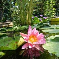 Розовый лотос считается наивысшим. Это лотос Будды. :: Galina Dzubina