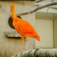Scarlet Ibis :: Кристина Каспер