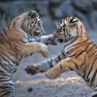 Тигровые игры :: Владимир Габов