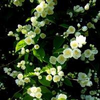 Жасмин  садовый (чубушник) :: veera (veerra)