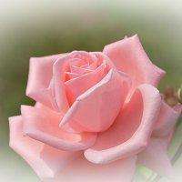 Нежность и красота :: Swetlana V