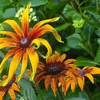 Рудбекия - красивая ромашка в солнечной оранжевой рубашке :: Маргарита Батырева