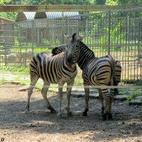 Трёхцветные зебры :: Нина Бутко