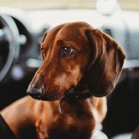 Моя собака :: Ольга Никонорова