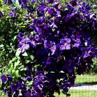 Буйным цветом.. :: Антонина Гугаева