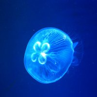 Медузы Японского моря :: Олег Воробьёв