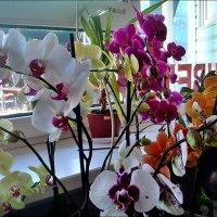 Выбор орхидей :: Нина Корешкова