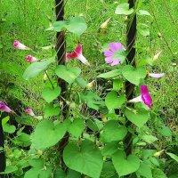 Нежные цветки вьюнка лучатся розовым в орнаменте зелёном :: Маргарита Батырева