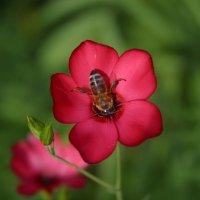 пчелка Мая на аленьком цветке :: Любовь Потравных