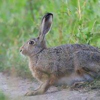 """""""зайчик серенький сидит и ушами шевелит..."""" :: - Lanin"""