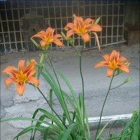 Оранжевый кустик лилейника :: Нина Корешкова