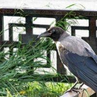 Городские птицы. Серая ворона :: OLLES