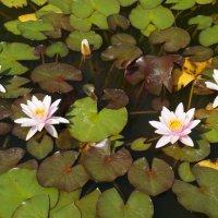 Водяные лилии :: Алёна Савина