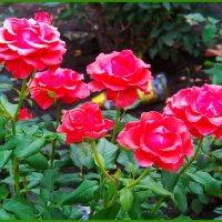 Розы в июле. :: Любовь К.