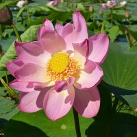 Прелестный лотоса цветок. :: Helen Helen