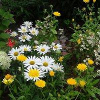 На клумбе цветут скромные белые ромашки :: Маргарита Батырева