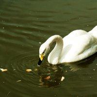 лебедь белая) :: Юлия Маркелова
