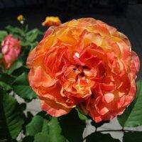 Утомлённая солнцем...прекрасная роза... :: Galina Dzubina