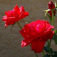 Июль,утро,розы... :: Тамара (st.tamara)