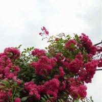 Розовая волна в саду :: spm62 Baiakhcheva Svetlana