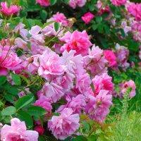 Розовый сад :: spm62 Baiakhcheva Svetlana