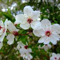 Весеннее цветение :: Сергей Карачин