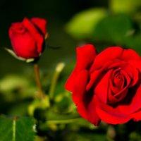 Роза :: Александр Яковлев