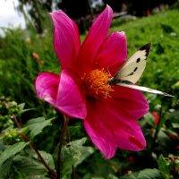 Бабочки летают.. :: Антонина Гугаева