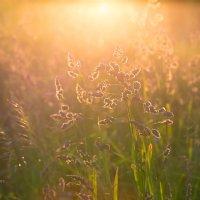 Трава в свете заката :: Александр Синдерёв
