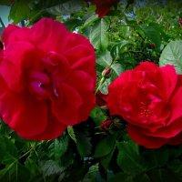 Про розы :: Сергей Карачин