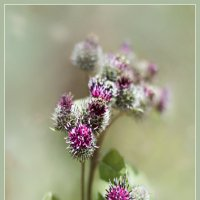 Цветет лопух... :: Алексей Лебедев