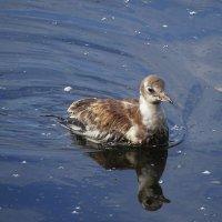Совсем молоденькая чайка :: Маргарита Батырева