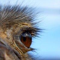 Глаз страуса :: Катерина Клаура
