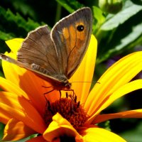 на жёлтом цветке 2 (сенница) :: Александр Прокудин