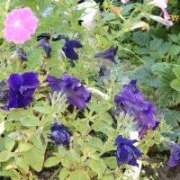 мир цветника :: валя елисеева