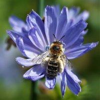 Пчёлка :: Исаков Александр