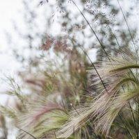 Ковыль-трава :: Алиса Колмагорова
