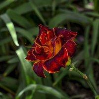 Аленький цветочек... тот самый... :: Александр Бойко