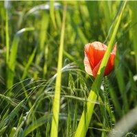 Мак заблудился в траве :: Наталия Сарана