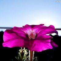 Конкурс. Фото цветов - на фоне неба # 2. Петуния :: Наталья (ShadeNataly) Мельник