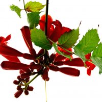 Конкурс. Фото цветов - на фоне неба # 2. Текомария капская (Tecomaria capensis) :: Наталья (ShadeNataly) Мельник