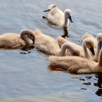лебедята :: linnud